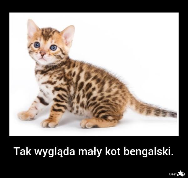 Ogromny BESTY.pl - mały kot bengalski VA09