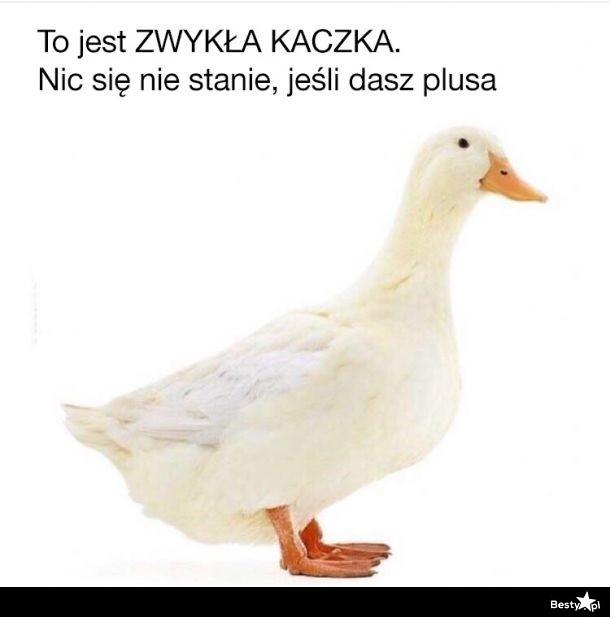Daj plus dla kaczki