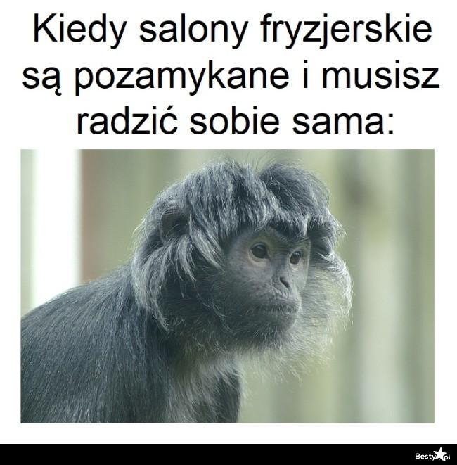 małpa śmieszna fryzura