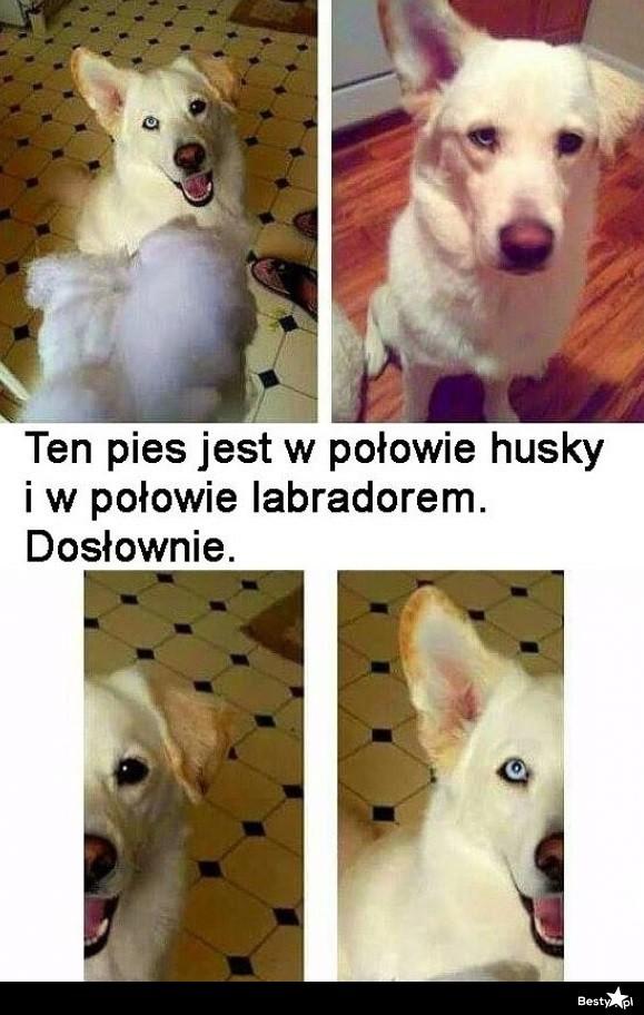 Pół husky, pół labrador